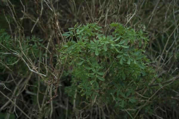 פיגם מצוי (Ruta chalepensis) שמן תשרית של עלוותו משמש לטיפול חיצוני בדלקות אזניים