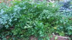 פטרוזיליה בגינה- ידועה כממריצה רחם עוד מימי היפוקרטס