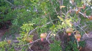 עץ רימון- אחד משבעת המינים בו התברכה ארצנו, ולא סתם התברכה- התברכה במרפא
