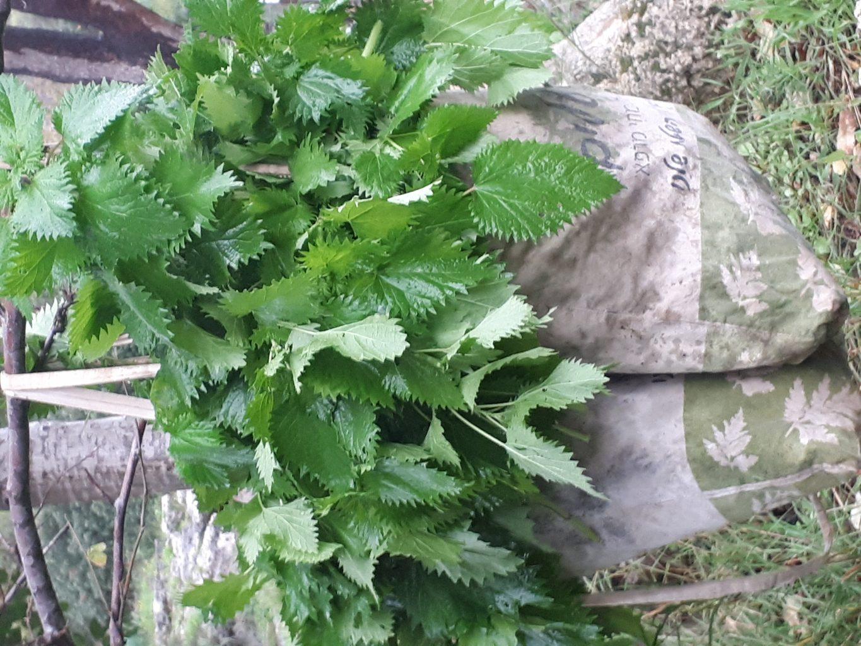 סרפד- צמח נוגד אלרגיה