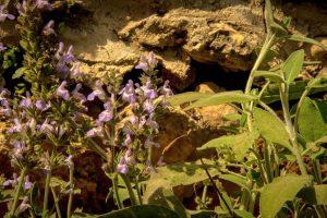 מרווה רפואית Salvia officinalis- צמח חשוב לטיפול בהזעות לילה